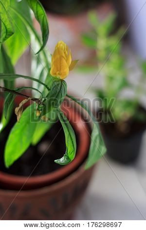 Yellow Flowers Of The Golden Shrimp Plant Pachystachys Lutea - Beautiful Home Plant In A Pot