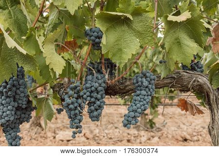 A photo of wine grapes hanging from a vine in a vineyard, just before the autumn harvest