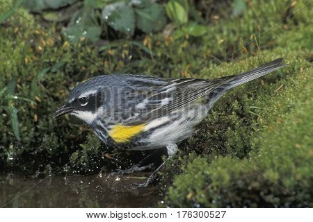 A male Yellow-rumped Warbler, Setophaga coronata drinking from a pond in the forest