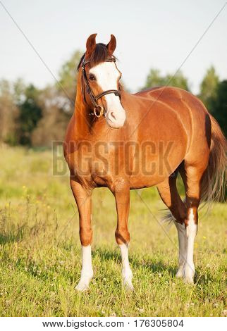beautiful welsh pony mare posing in meadow