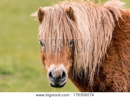 A mini horse looking straight at the camera.
