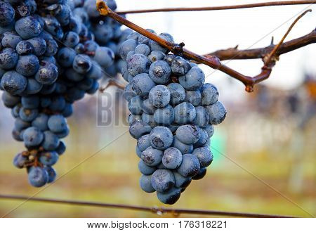 Detailed view of a frozen grape vines in a vineyard in autumn in southern Moravia in the Czech Republic
