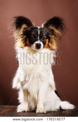 Beautiful dog breed Papillon on a brown background