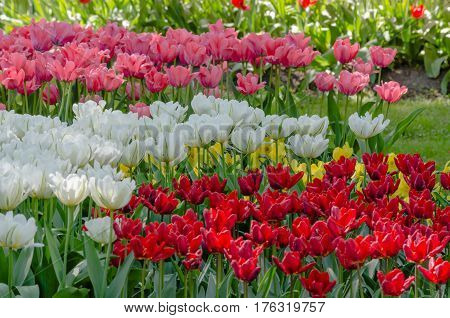 Flowerbed of white, red, pink tulips and green grass in the gatden