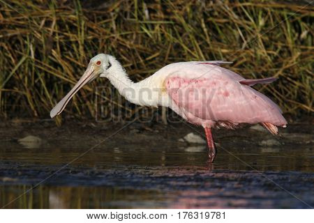 A Roseate Spoonbill, Platalea ajaja wading in shallow water in a Florida bay