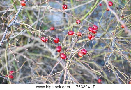 Red Briers On Branches Bush, Close Up Outdoor