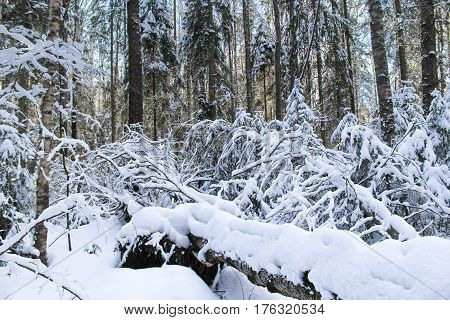 Windbreak in the winter forest. Winter snow-covered forest species of wild nature.
