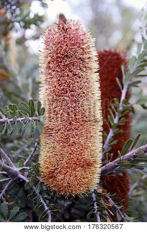 Banksia Ericifolia, The Heath-leaved Banksia, Lantern Banksia Or Heath Banksia  Flower.