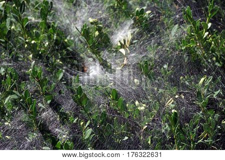 Spider webs cover the leaves and branches of a Korean boxwood (Buxus sinica) growing in a garden in front of a house in Joliet, Illinois during September.