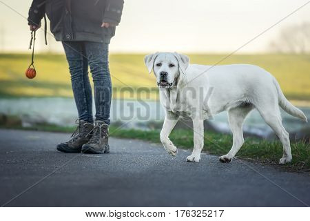 labrador retriever dog running on the street
