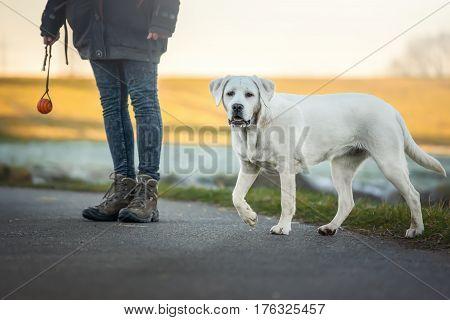 labrador retriever dog running on a street