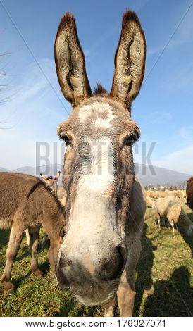 cute donkey with very long ears photographed with a fisheye lens