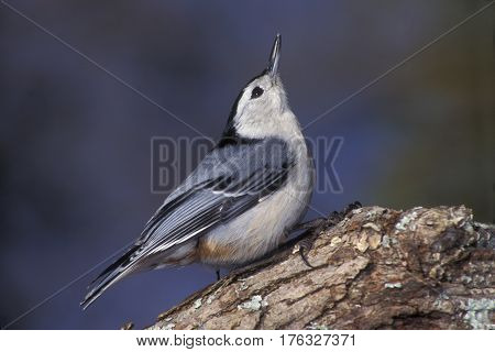 A White-breasted Nuthatch, Sitta carolinensis on a tree branch in winter