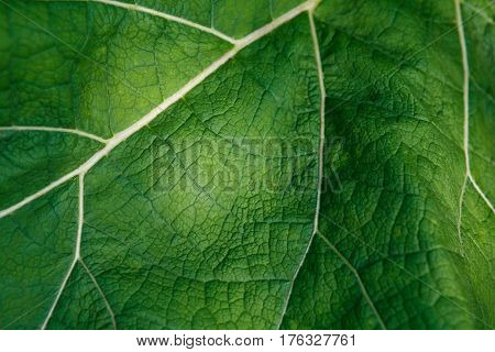 Fresh green burdock leaf texture closeup. Natural foliage, botanic background, macro shot