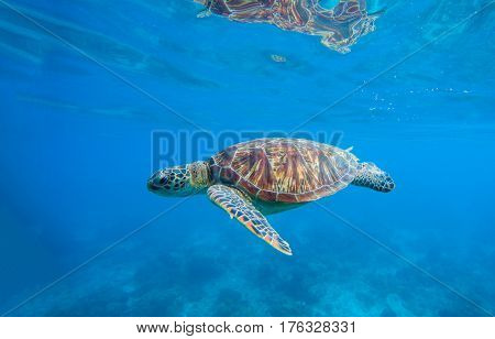 Sea turtle in water. Underwater photo with tortoise. Exotic island seashore environment in tropical lagoon. Wild turtle swimming underwater in blue tropical sea. Sea turtle in wild nature. Sea life.