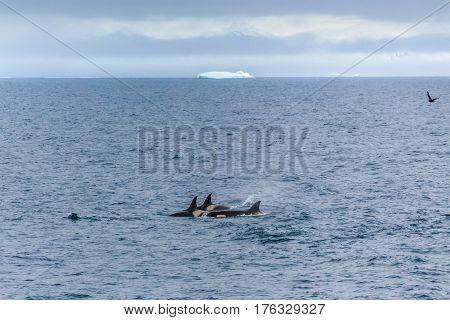 Group Of Orca Hunting In Antarctic Waters, Antarctica