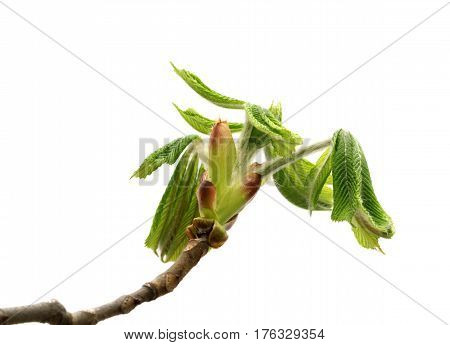 Spring Twigs Of Horse Chestnut Tree With Young Leaves