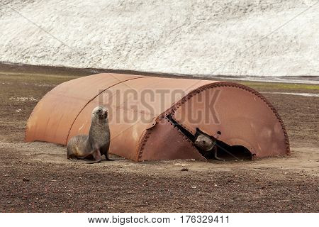 Fur Seals Playing In The Ruins Of Whaler Station At Deception Island , Antarctic