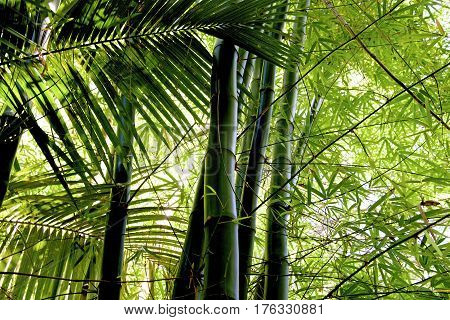 Bamboo grove bamboo forest at Reunion France