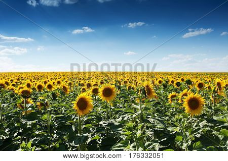 Flowering sunflowers at field in the summer