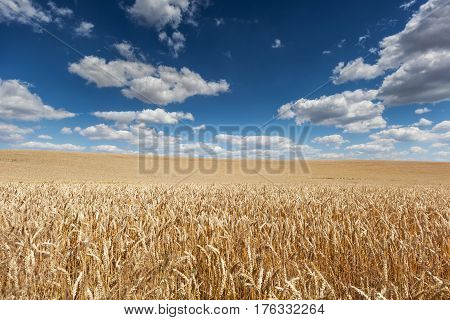 Ripe barley on field with blue sky and beautiful weather clouds on a summer day