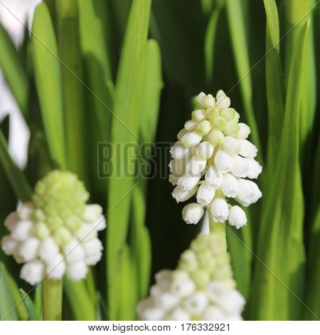 Muscari armeniacum album - white grape hyacinth, Armenian grape hyacinth, Garden Grape-hyacinth