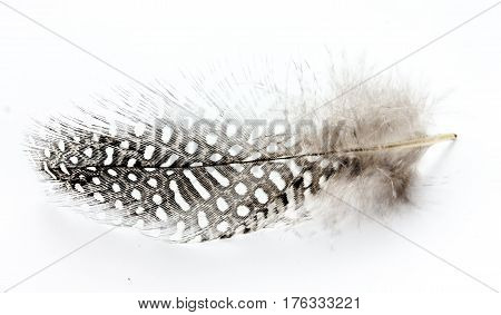 Speckled bird feather isolated on white background