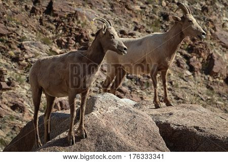 Two Bighorn Sheep (ewes) standing on large boulders in the Anza Borrego Desert State Park in San Diego County, California.
