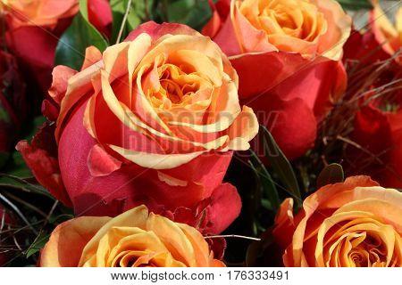 A Bouquet of wonderful cherry brandy Roses closeup