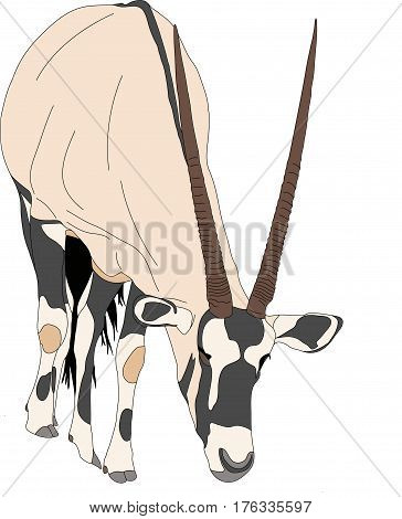 Portrait of a gemsbok looking for food, front view, hand drawn vector illustration isolated on white background