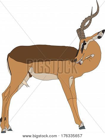 Portrait of a blackfaced impala, standing, head back, side view, hand drawn vector illustration isolated on white background