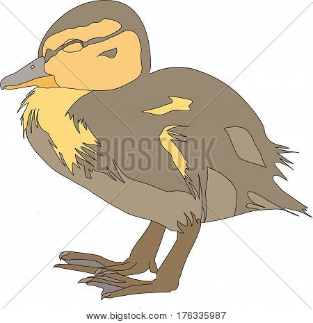 Portrait of a very cute and funny common mallard duck chicken, hand drawn vector illustration isolated on white background