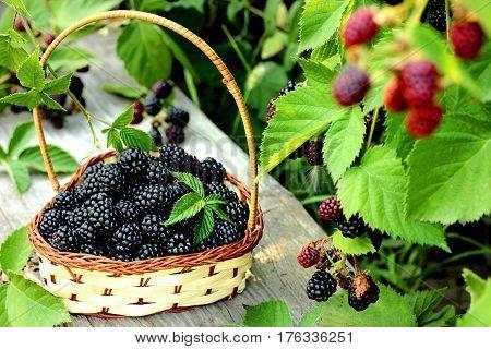 Blackberry on basket in summer garden selective focus