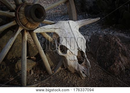 Bleached cow skull resting against an old wagon wheel in a rock garden as a western feature, closeup.