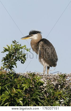 A Great Blue Heron chick, Ardea herodias standing in its nest  at a Florida rookery