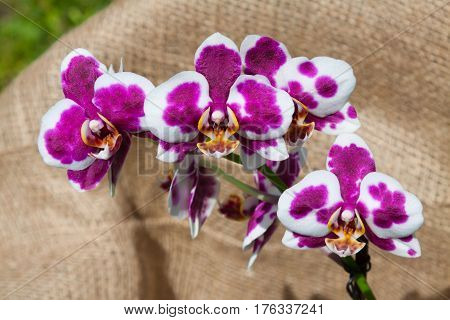 The little blooming orchid on fabric background