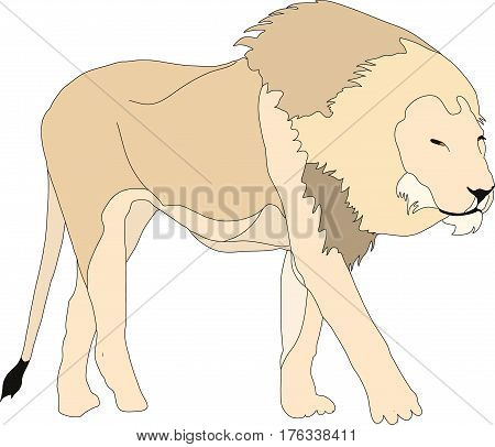Portrait of a  walking hungry lion in etosha national park, hand drawn vector illustration isolated on white background