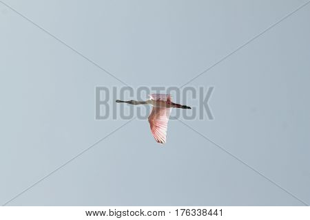 The roseate spoonbill (Platalea ajaja) pink bird in flight