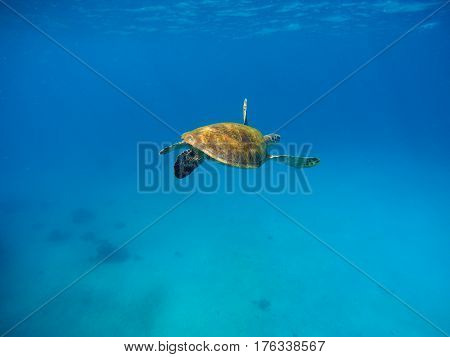 Sea turtle in warm water with blue background. Underwater photography of wild oceanic animal. Tropical seashore inhabitant. Lovely green turtle swimming and diving in sea water. Exotic nature photo
