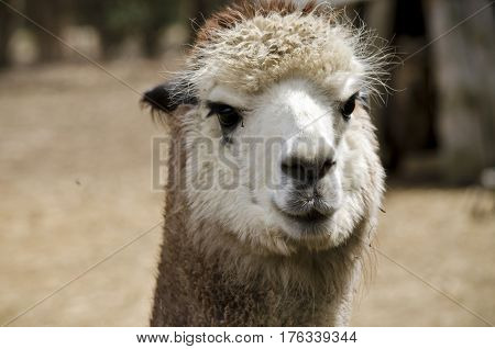 this is a close up of a alpaca