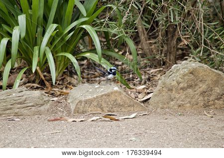 the superb fairy wren is sitting on a rock