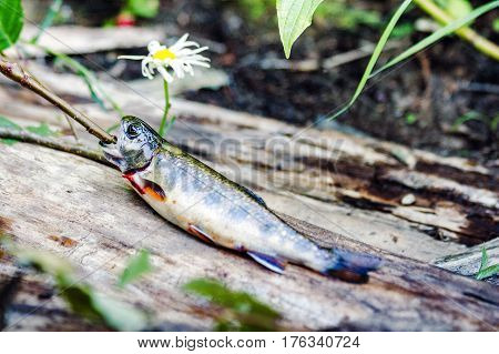 Dead fish freshly out of water on log with living flower.