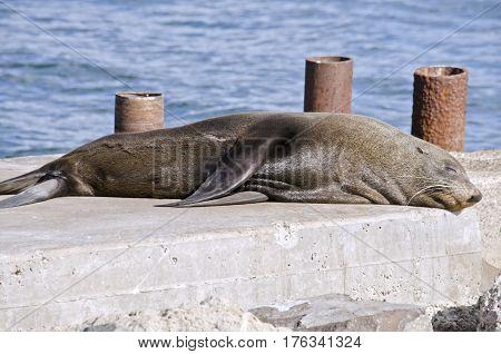 the Australian fur seal resting on some rocks