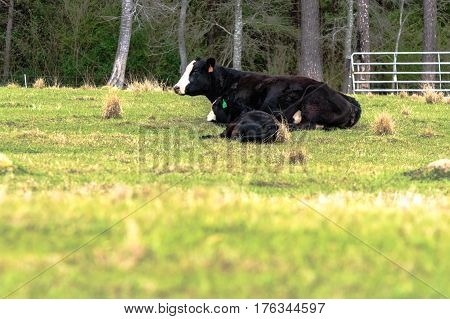 Black baldy cow and calf pair lying down with out of focus blank foreground
