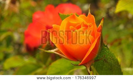 Close up of a beautiful orange coral rosebud growing in a garden