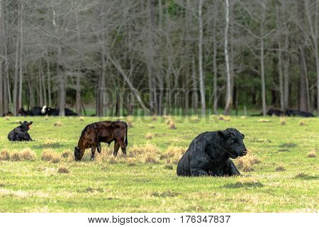 Angus bull lying in a spring pasture with calves nearby and other cattle in the background