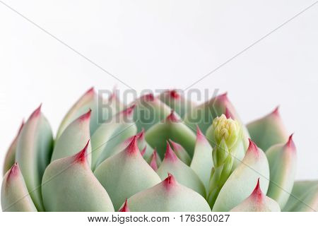 succulent plant closeup on a white background