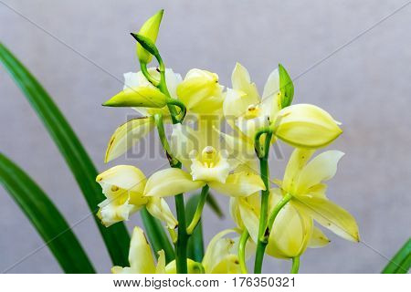 pale yellow orchids bloom in the spring