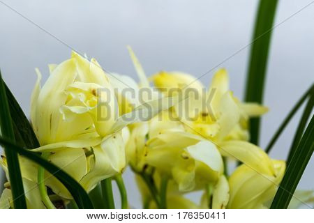 faint yellow orchids bloom in the spring