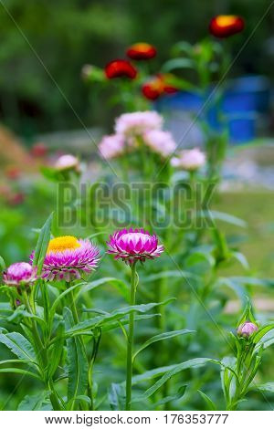 Helichrysum or Straw flower sweet with green background at countryside Thailand